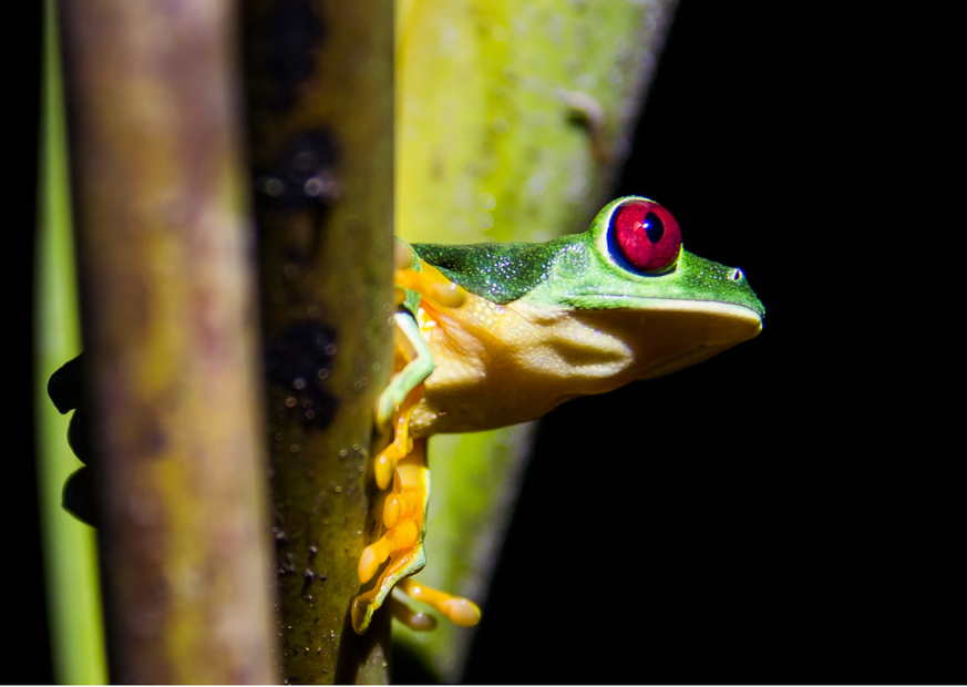 Red-eyed frog nightime
