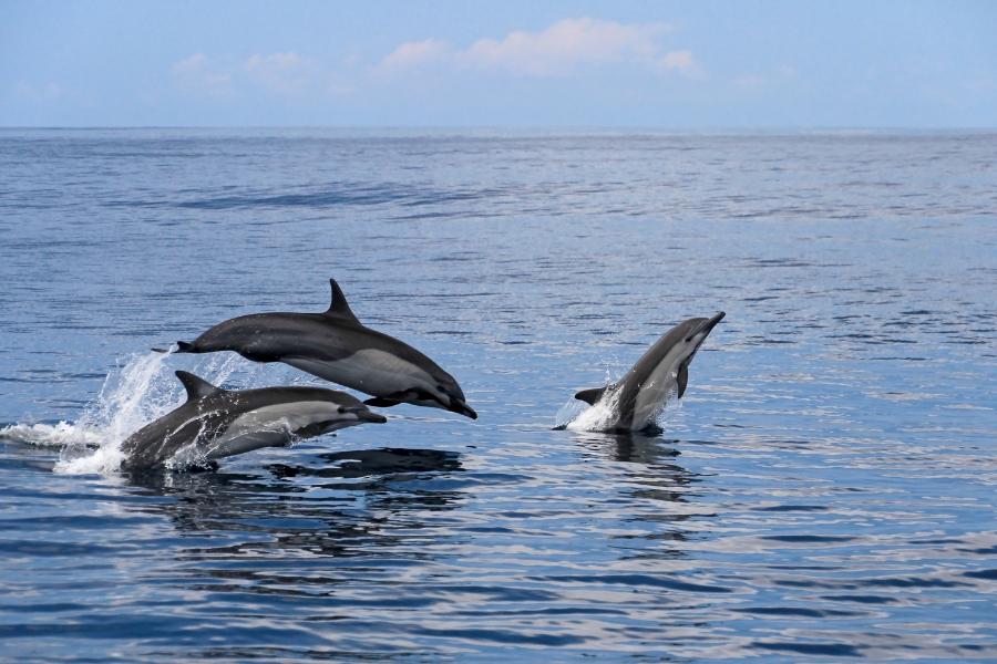 Costa Rica Doplhins